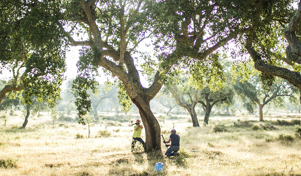 Two men with sharp tools peel bark from a cork tree in Portugal.